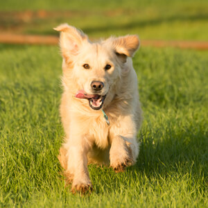 Dog Running - Care Advice