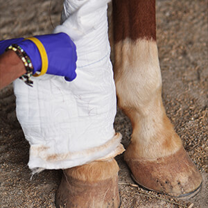 Horse Wounds - Care Advice