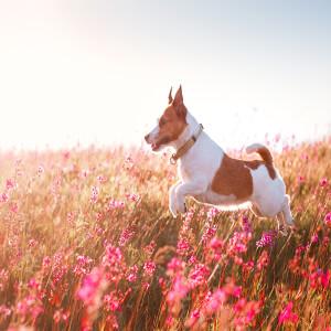 Dog Hay Fever