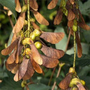 Atypical Myopathy - Sycamore Seeds